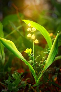 Lily Of The Valley. Poison never smelled so good.
