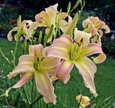 Thoughts on branching and bud count.... | Daylily Blog - Gardening in Virginia