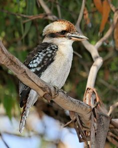 Laughing Kookaburra (Dacelo novaeguineae) Perched on a eucalypt branch surveying for prey