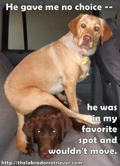 Visit thelabradorretriever.com for more great info about Labrador retriever #lab #labrador #dog #memes
