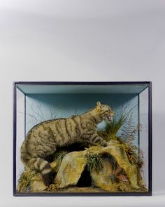 Taxidermy Scottish Wildcat from Ayre & Co.