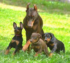 Doberman Pinscher Blue, Doberman Love, Animal Books, Working Dogs, Dogs And Puppies, Big Dogs, Dog Life, Pet Birds, Dog Breeds