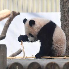 何でもオモチャになる⁉️ #シャンシャン #香香 #shan shan #xiang xiang #ueno zoo #オモチャ #遊具 #竹 #笹 #餌 #パンダ #大熊猫 #panda #jaiantpanda #animal #cute #上野動物園