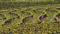 Pewsey Vale Vineyards. Barossa Valley, South Australia.  Image © Barossa Grape & Wine Association. Image by Dragan Radocaj Photography. #Barossa #BarossaWine #Wine #BarossaValley