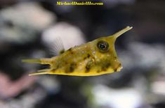 Cow Fish... he is just so cute!