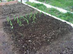 (Marzo 2016) Inizio a piantare l'aglio in uno dei quadranti. Ho comprato le piantine perché per i bulbilli era troppo tardi. Annaffio poco, l'aglio ha bisogno di poca acqua.