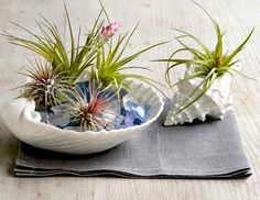 Decorate With Tillandsia (Air Plants) | Garden and Spice