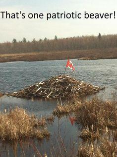 that's one patriotic beaver! canadian flag on beaver dam.