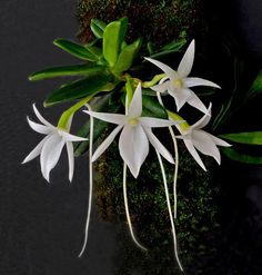 angraecum orchids - Google Search