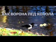 Как ворона лёд колола: забавные и смешные животные. As the crow stabbed ...