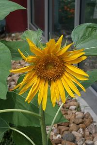 How To Plant Sunflower Seeds With Kids