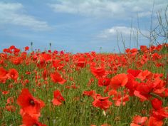 A field of poppies. Silk or crepe paper poppies were made in the 1930s to wear on Armistice Day. Most modern Americans now wear poppies on Memorial Day; many modern people in Europe and Canada still celebrate Armistice Day and wear poppies the whole month of November.