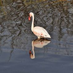Lake Bogoria: The greater flamingo, one of the six species of flamingo in the world is a commoner here.  #flamingo#wildlifephotography #safaris #travel #nature_lovers #photosafari #photography #holiday #birdsphotos#birdphotographs #birdingphotography #nikonphotography #magicalkenya #instalove #kenyasafari #safaris #travel #nature_lovers #photosafari