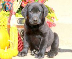 Bravo | Labrador Retriever - Black Puppy For Sale | Keystone Puppies Black Puppy, Black Lab Puppies, Newborn Puppies, New Puppy, Puppies For Sale, Labrador Retriever, Pets, Animals, Labrador Retrievers