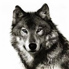 Billedresultat for wolf head tattoo