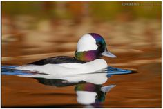 Bufflehead Duck by Conrad Tan on 500px
