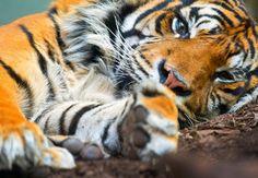 تعدٍّ صارخ على البيئة... نبيذ من عظام النمور!