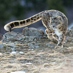 Discover ideas about snow leopard drawing Beautiful Cats, Animals Beautiful, Big Cats, Cats And Kittens, Animals And Pets, Cute Animals, Wild Animals, Baby Animals, Gato Grande