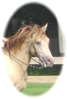 Tennessee Walking Horses - CLOUD 9 WALKERS (Tennessee Walking Horse Stallion)