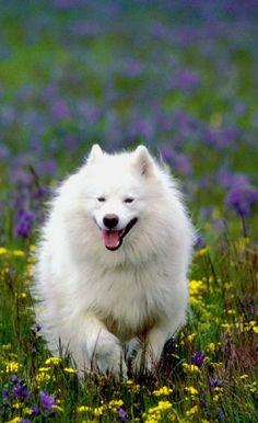 American Eskimo Dog Running Thru Wild Flowers