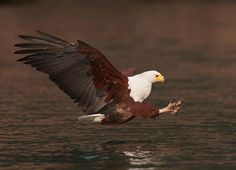 My Favourite = The Fish Eagle