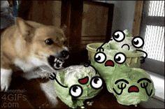El perro mata lechugas !