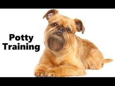 Brussels Griffon Potty Training