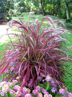 So mandatory for house landscaping~ LOW TO NO maintenance PART SHADE- (Pennisetum setaceum) Purple fountain grass perennial hardiness zones 8 through 11, cannot tolerate cold temperatures and performs as an annual in cooler zones. The plant resists drought and grows quickly, making it ideal for placement in rock gardens and annual beds. Full sun and need well-drained, fertile soil. Cut purple fountain grass back during late winter or early spring
