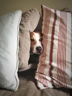 Peek a boo beagle ! Wonder why this cute puppy is hiding himself in the pillows.