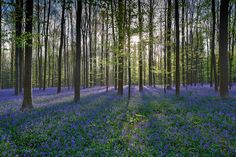 Sun shines over a carpet of bluebells in Hallerbos. Also known as the Blue Forest, Hallerbos is so surreal that you might think you've stepped into a dream, but rest-assured, you're just 30 minutes south of Brussels!  Read more: http://www.mnn.com/lifestyle/eco-tourism/blogs/straight-out-of-a-fairytale-surreal-bluebell-forest-blooms-in-belgium#ixzz35wDIJWOo