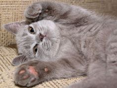 Diese schöne graue Katze lädt geradezu zum Streicheln ein – Bild: Shutterstock / Vitaliya    www.einfachtierisch.de