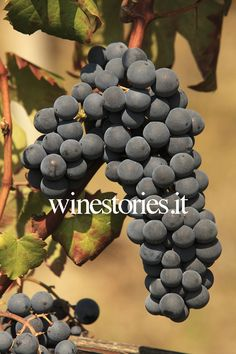 dolcetto grapes, Marco e Vittorio Adriano, Piemonte, Italy