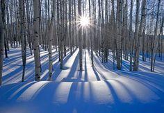 Sunlit Birches by Peter Lik