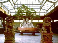 Oldest bonsai tree! 1000 years. #bonsai