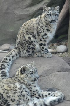 Snow Leopard Pictures Only | Bye Bye Snow Leopard Cubs - Akron Ohio Moms