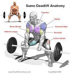 anatomy of exercise   Body Building Anatomy > Leg Exercises >Sumo Deadlift Anatomy