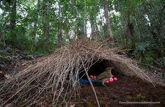 Arquitectura Animal. Estas pequeñas cabañas (llamada pérgola), compuestas de ramas y césped, son construidas por el Pergolero macho en vista de atraer potenciales parejas.