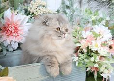 Diva - Click Here - Ultra Rare Persian Kittens For Sale - (660) 292-2222 - Located in Northern Missouri (Shipping Available)Ultra Rare Persian Kittens For Sale – (660) 292-2222 – Located in Northern Missouri (Shipping Available)