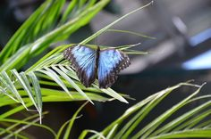 blue butterfly (Chester Zoo)