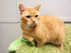 Meeeeeeow! I'm the sweet ole dude they call Buggie, and I've been waiting here all day for my new fur-ever family. That wouldn't happen to be you, would it? I am a neutered male, orange tabby Domestic Shorthair and I am about 10 years old. (ID#A026607)