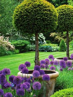 English garden with lollipop yews and allium purple sensation in early summer. - English garden with lollipop yews and allium purple sensation in early summer. Formal Gardens, Outdoor Gardens, English Garden Design, English Landscape Garden, Formal Garden Design, Rose Garden Design, English Country Gardens, Garden Cottage, Back Gardens