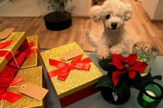 Tobbe the Poodle helping with Chistmas Presents <3