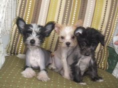 Hairless Chinese Crested Puppies - we will have some in a few weeks!