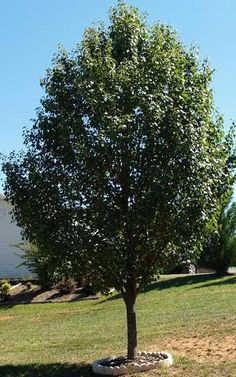 1000 Images About Trees For Shade And Beauty On Pinterest