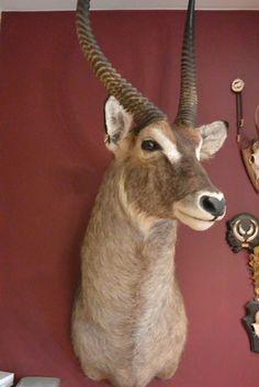 Catawiki Online-Auktionshaus: Aufgesetzter Wasserbock-Kopf - 1,60m x 76cm  x 45cm