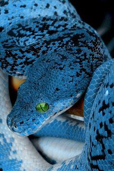 Blue snake- so vibrant!
