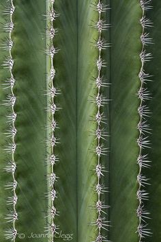 libutron: Prickly Lines | ©Joanna Clegg Abstract macro of a Saguaro cactus (Carnegiea gigantea), showing vertical lines of spines. · #photography #nature