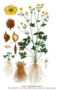 Engsoleie. Dandelion, Flowers, Plants, Google, Pictures, Dandelions, Plant, Taraxacum Officinale, Royal Icing Flowers