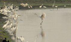 Voice of Varapuzha: egret dance #kadamakudy