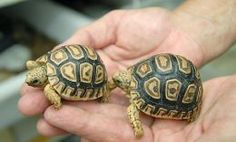 Here are two cute baby leopard tortoises. These guys will get 15-18 inches long and they will live 100 years or more.